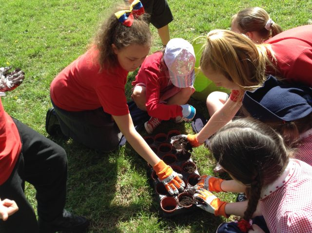 5S Planting sunflowers at Norris green park