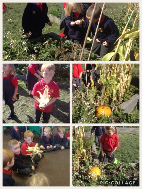 1B finding pumpkins and corn