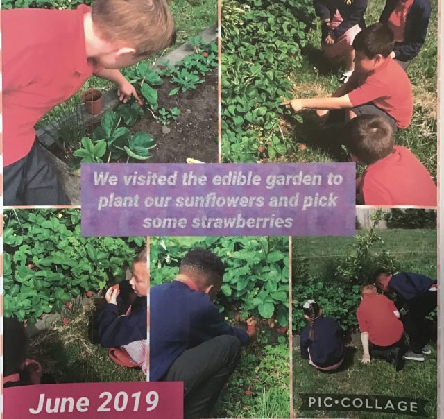 5H We went out to plant our sunflowers that we had planted in Norris Green park and enjoyed some strawberries whilst we were there