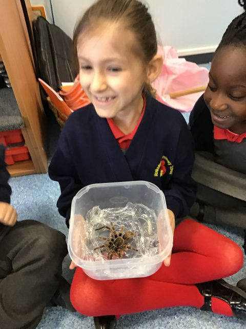 1.1 We saw the exoskeleton of a tarantula! We learned that our skeleton is on the inside, but some animals have them on the outside